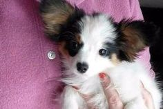 PRECIOUS is an adoptable Papillon Dog in Lonedell, MO.  Nothing is more precious than a Papillon puppy. They have beautiful butterfly ears. To meet Precious call her foster mom 314-420-3003. CHECK OUT...