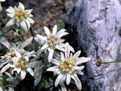 Эдельвейс – цветок мужества и верности