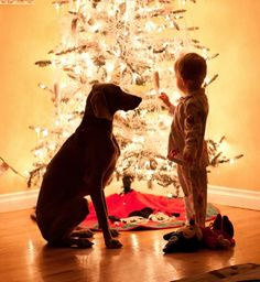 A dog and his boy! weimeraner; Christmas tree