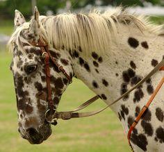 Appaloosa close-up by possumgirl2 on Flickr.