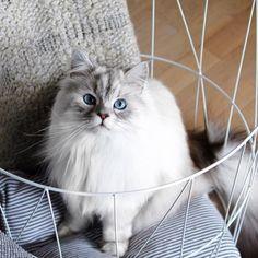 Blue Eyes Cat   Cutest Paw