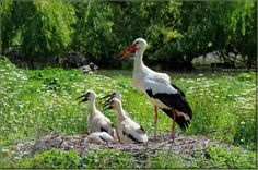 "Storks Story, ""The Kids – Happy Family"", Association Center for Storks - Olaszország Storks, Alsace, Happy Family, Pet Birds, Countryside, Mothers, Holidays, Nature, Kids"