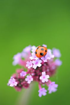 The World's Best Photos of てんとう虫 Lady Bug, Beautiful Bugs, Beautiful Flowers, Beautiful Creatures, Animals Beautiful, Animals And Pets, Cute Animals, Bugs And Insects, Tier Fotos