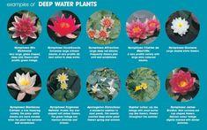 water-lilies-deep-water-examples
