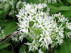 Wild garlic yumyum Top 10… foods to forage - Green Living - The Ecologist