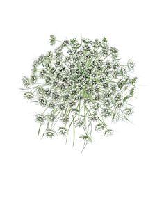 bishop's flower | STILL (mary jo hoffman)