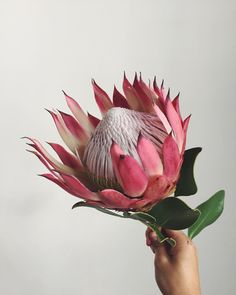 Items similar to Watercolor flower painting print of an indigenous Pink Protea from South African on Etsy Flor Protea, Protea Art, Protea Flower, Botanical Flowers, Exotic Flowers, Beautiful Flowers, Flower Power, Australian Native Flowers, Sugar Flowers
