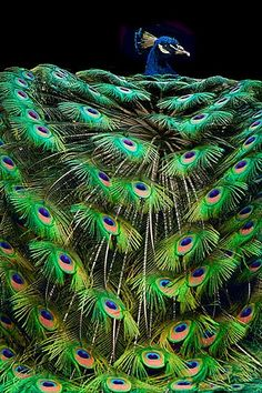 this is very orderly because of the way the peacock feathers are naturally symmetrical (natural earth)