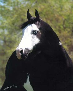 Horse American Paint Horse western quarter paint horse paint pinto horse Indian pony solid tovero overo frame sabino tobiano rabicano