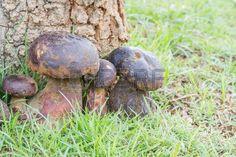 Bolete mushroom in nature, Thailand call Tap Tao mushrooms. Scientific name Thaeogyroporus porentosus (berk. ET. Broome ) photo