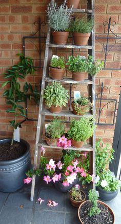 Old ladder loaded up with pots of herbs. Tahitian Lime Tree espaliered behind against the wall on very sunny front verandah. Vine will also eventually climb up ladder to add some colour.