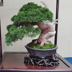 Shimpaku juniper at world bonsai convention. Picture by bonsai-shohin.com #BonsaiFoodFriends