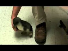 Tickling a Penguin [Original] on YouTube. So crazy cute.