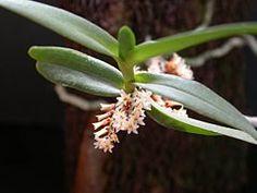 Campylocentrum neglectum