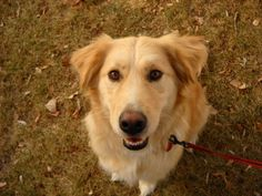 This is Tommy a 1 year old Golden mix. He gets along with other dogs, is potty trained, has good house manners and rides well in a car. He loves going to the dog park and has good recall. Tommy is looking for a forever home and is at Golden Retriever Freedom Rescue CO.