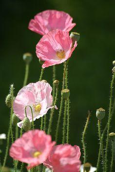 ✿ღ  Pink Poppies