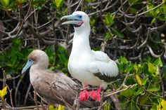 Red-Footed Booby (Photo source: @Green Global Travel), Galapagos Birds http://www.everintransit.com/photographic-guide-to-the-galapagos/