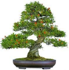 "bonsaitoday: "" Pomegranate Punica Granatum, Bonsai Today #77, Cover """