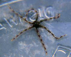 Brittle starfish (In the BioCube)