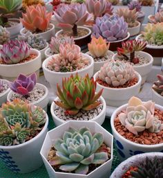 How come I can never find these awesome coloured succulents?