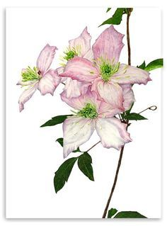 elaine searle botanical artist - Google Search