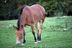 Equine hybrids have existed since ancient times. Many people are familiar with mules, but less have heard of zorses and even fewer know about donkras. Some of these unique crosses are used in petting zoos and on ranches. You learn something new everyday!