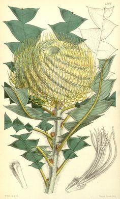 Banksia victoriæ illustration; artist and date unk.