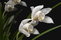 Cymbidium eburneum - Flickr - Photo Sharing!