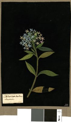 Taburnae-Montana Amsonia, from an album (Vol.IX, 47). 1779 Collage of coloured papers, with bodycolour and watercolour, and with leaf sample, on black ink background, Mary Delany (1700-1788)