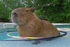 Até as capivaras se divertem nesse calor (: [don't swipe] Say Hello To Your New Favorite Rodent: The Capybara 0 - https://www.facebook.com/different.solutions.page