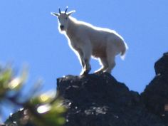 Summit Spirit Goat