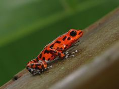 Strawberry Dart Frog, caring yet deathly