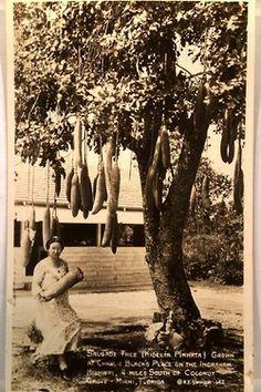 Sausage Trees in Florida