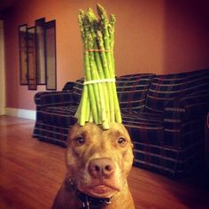 Meet Scout, a dog with the amazing talent of being able to balance nearly anything on his head. According to Scout's owner, it all started out when a friend Animals And Pets, Funny Animals, Cute Animals, Pit Bull Dogs, Banner, Animal Sketches, Funny Animal Videos, Funny Animal Pictures, Doge
