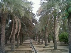 Date Palms in Al Awir Farm , Dubai. Photography: Juhaina Al Fardan