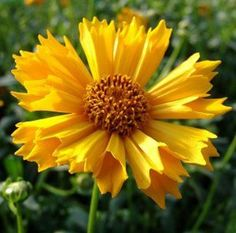 79 best yellow n gold flowers and plants images on pinterest perennial flower yellow mightylinksfo