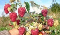 Vedro malín z jedného kra: Záhradkár, ktorý sa doky živil ich pestovaním poradil, ako si vypestovať nekonečnú zásobu zdravých malín!