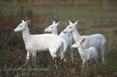 A small herd of white albino deer stick together albino animal Albino animals in pictures Albino Deer, Rare Albino Animals, Unusual Animals, Beautiful Creatures, Animals Beautiful, Giant Giraffe, Deer Photos, Animal Photography, Animal Kingdom