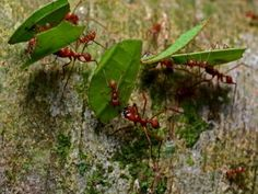 Amazon rainforest animals Ecuador: Leaf-cutting-ants in Cuyabeno.