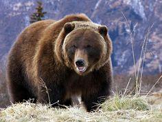 oso pardo wallpaper - Buscar con Google