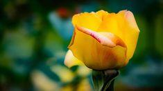 #rose  #flower #flowers #ig_flowers #superb_flowers #FlowerStalking #wp_flower #floral_splash #igscflowers #venezuelagarden #薔薇
