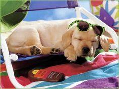 Is it summer yet? (Yellow Labrador Retriever Puppy Dog)