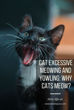 Understanding Cat S Execessive Meowing And Yowling Why Is My Cat Meowing Non Stop Cat Meowing Loudly Cat Meowing Sound Cat Meowing At Night Cat Yowling Cats