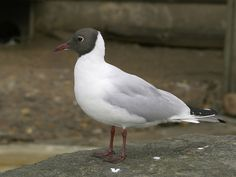 Black-headed Gull (summer plumage) - the gull most likely to be seen around Gainsborough, common everywhere Sea Birds, Wild Birds, Golden Plover, Aquatic Birds, Common Birds, Cardinal Birds, Shorebirds, Fauna, Pictures Images
