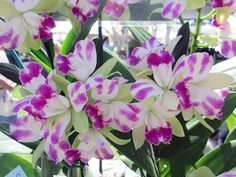 orchid love