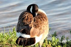 A Canada goose snuggles his beak between his wings for an afternoon nap at Lake Murray State Park in southern Oklahoma.
