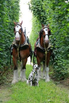 Clydesdales with a Dalmation All The Pretty Horses, Beautiful Horses, Animals Beautiful, Beautiful Creatures, Work Horses, Horses And Dogs, Big Horses, Animals Of The World, Animals And Pets