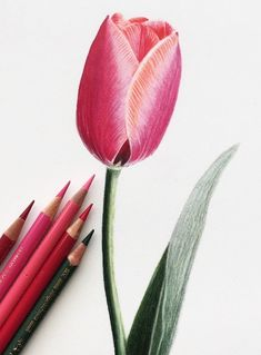 Jennifer Morrison Art is creating Botanical Colored Pencil Drawing Tutorials Realistic Flower Drawing, Simple Flower Drawing, Easy Flower Drawings, Beautiful Flower Drawings, Flower Drawing Tutorials, Cool Art Drawings, Pencil Art Drawings, Colorful Drawings, Horse Drawings
