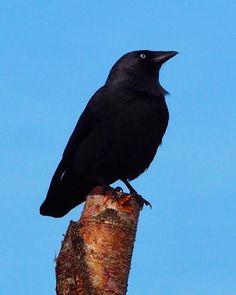 #schiermonnikoog #friesland #holland #nature #birds #birdwatching #crow #ig_europe #ig_captures #pictureoftheday #ig_great_pics