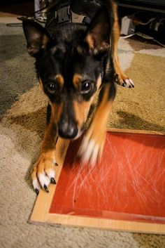 How to trim dog nails close up of the guillotine type nail trimmer cant cliptrim your dogs nails try this tip instead solutioingenieria Images